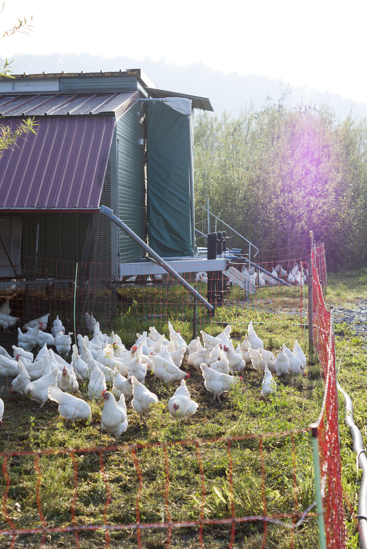 Hühner vor einem mobilen Stall vom Hofgut Martinsberg.