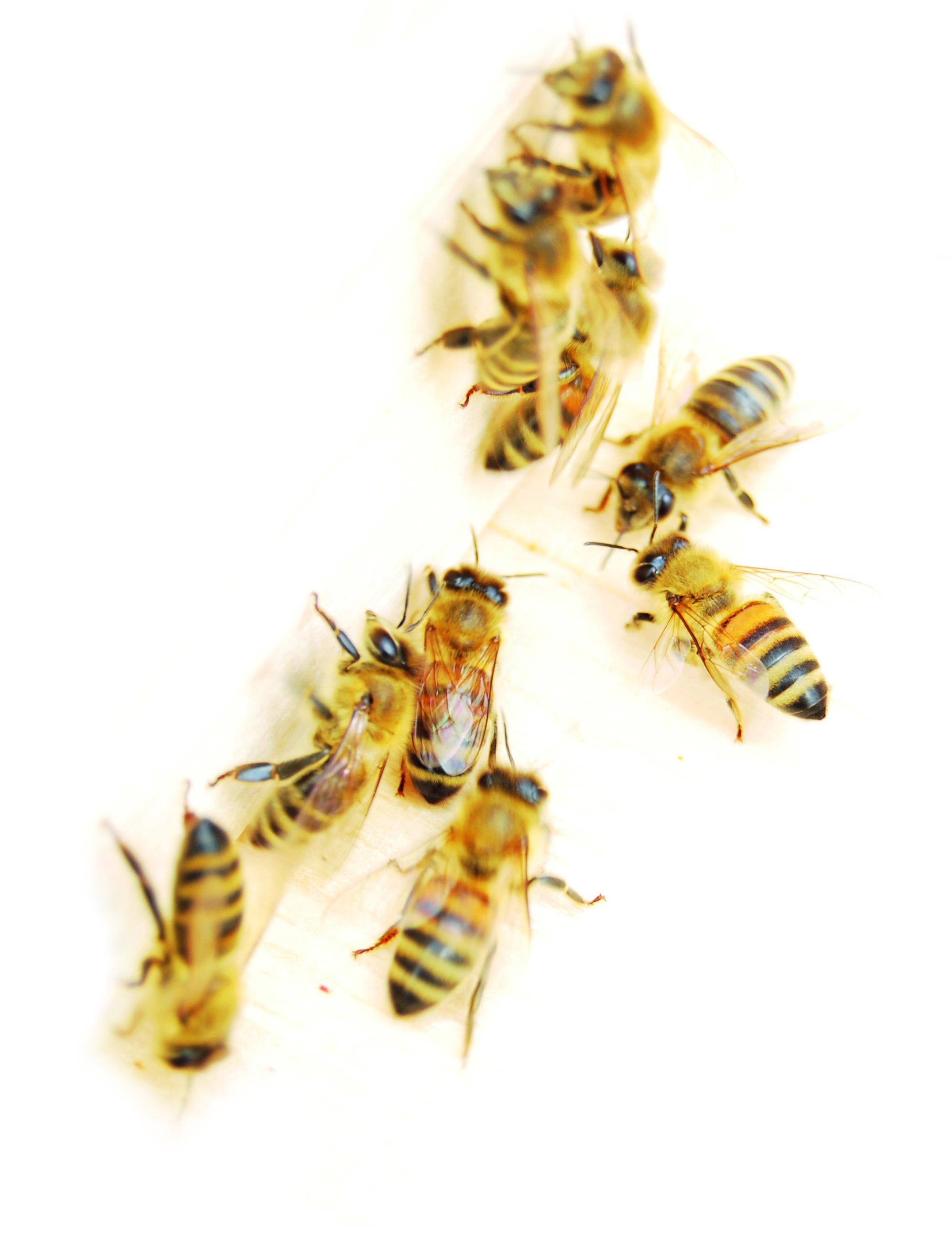 Bild von einer Gruppe Bienen.
