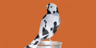 Kanarienvögel geben keine Milch