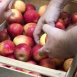 Ein Kiste Äpfel