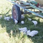 Hühner, die es sich im Schatten eines Wasserwagens bequem gemacht haben.